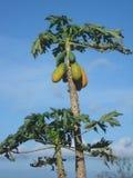 melonowa drzewo Zdjęcia Stock
