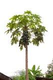 melonowa drzewo Obraz Stock