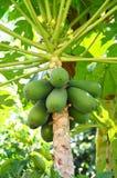 Melonowa drzewo Zdjęcie Royalty Free