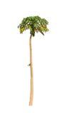 Melonowa drzewo (Carica melonowiec) Obraz Royalty Free