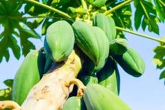 Melonowa drzewo z melonowiec owoc Obrazy Stock