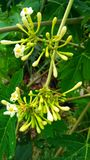 melonowa kwiatu obwieszenie obrazy royalty free