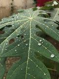 Melonowa liść Zdjęcia Stock
