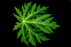 melonowa liść w czerni Fotografia Royalty Free