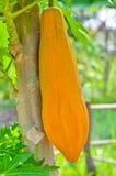 Melonowa pojedynczy kolor żółty Obraz Royalty Free