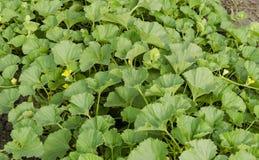 Melonowa roślina z kolorów żółtych kwiatami i zielonymi lisami Zdjęcia Stock