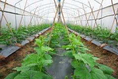 Melonowa uprawa w rostowej scenie zdjęcie royalty free