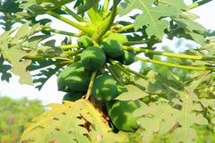 Melonowiec drzewne owoc plantacje, Azja Obraz Royalty Free