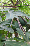 Melonowiec na drzewie Zdjęcia Stock