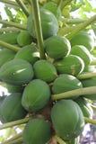 Melonowiec na melonowa drzewie fotografia royalty free