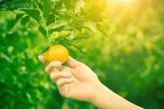 Melonowiec owoc na drewnianym tle Plasterki słodki melonowiec na drewnianym tle, Przekrawający melonowowie z liśćmi, Zdjęcia Royalty Free
