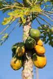 Melonowiec owoc na drzewie Zdjęcie Royalty Free