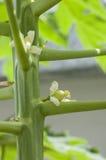 Melonowiec urodzony Fotografia Stock