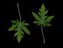 Melonowiec zieleń Obrazy Stock