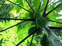 melonowy drzewo Obraz Stock