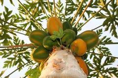 melonowy drzewo obrazy royalty free