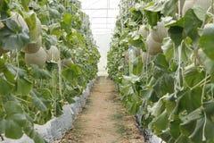 Melonpeppar i ett växthus arkivfoton