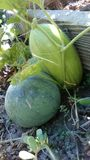 melons imagens de stock
