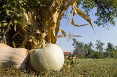 Melons. Fresh melon closeup on the ground in rural household Royalty Free Stock Photos