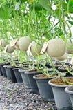 Melons de cantaloup en serre chaude Photographie stock libre de droits