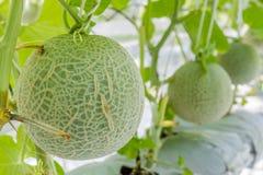 Melons de cantaloup s'élevant en serre chaude Photos stock