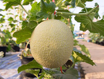 Melons in the garden Royalty Free Stock Photography