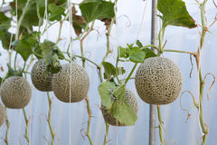 Melons grown in greenhouses. Melons planting grown in greenhouses Stock Image