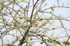 Melons mûrs sauvages image libre de droits