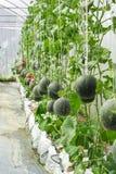 Melons ou plantes verts de melons de cantaloup Images libres de droits