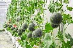 Melons ou plantes verts de melons de cantaloup Photographie stock