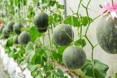 Melons ou plantes verts de melons de cantaloup Photos stock