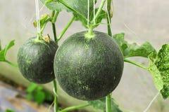 Melons ou plantes verts de melons de cantaloup Photographie stock libre de droits