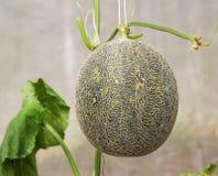 Melons ou plantes verts de melons de cantaloup Image libre de droits