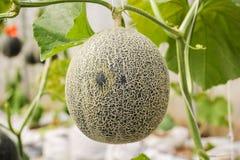 Melons ou plantes verts de melons de cantaloup Images stock