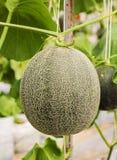 Melons ou plantes verts de melons de cantaloup Photos libres de droits