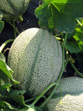 Melons Royalty Free Stock Image