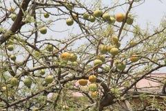 Melons sauvages de désert photos libres de droits