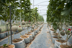 Melonträdgård Arkivfoton