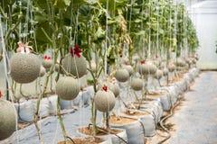 Melonträdgård Arkivfoto