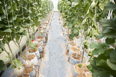 Melonträdgård Arkivbilder
