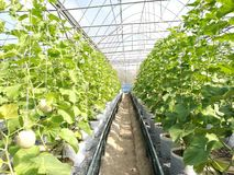 Melonu gospodarstwo rolne Obrazy Stock