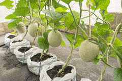 Melonu lub kantalupa owoc w rośliny pepinierze Obraz Royalty Free