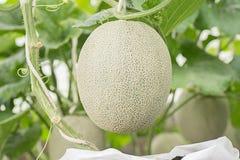 Melonu lub kantalupa owoc w rośliny pepinierze Obrazy Royalty Free