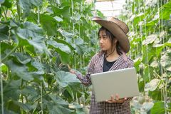 Melony w ogr?dzie, m?oda kobieta w szklarnianym melonu gospodarstwie rolnym obraz stock
