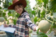 Melony w ogr?dzie, m?odej kobiety mienia melon w szklarnianym melonu gospodarstwie rolnym obrazy stock