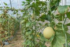 Melony w ogr?dzie obraz royalty free