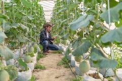 Melony w ogr?dzie, Yong m??czyzny mienia melon w szklarnianym melonu gospodarstwie rolnym Potomstwo flanca Japoński melonów rosną obrazy stock