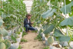 Melony w ogr?dzie, Yong m??czyzny mienia melon w szklarnianym melonu gospodarstwie rolnym obrazy stock