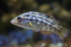 Melops Symphodus wrasse Corkwing Стоковые Изображения