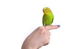 Melopsittacus verde e giallo Undulatus del pappagallo di pappagallino ondulato sopra Fotografie Stock Libere da Diritti